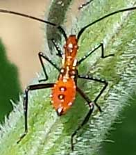 Leaf-footed-bug-nymph