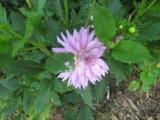 0914-lilac-flower