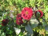 0914-round-red-flower