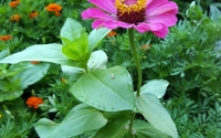 flat-top-zinnia-for-Monarchs-2