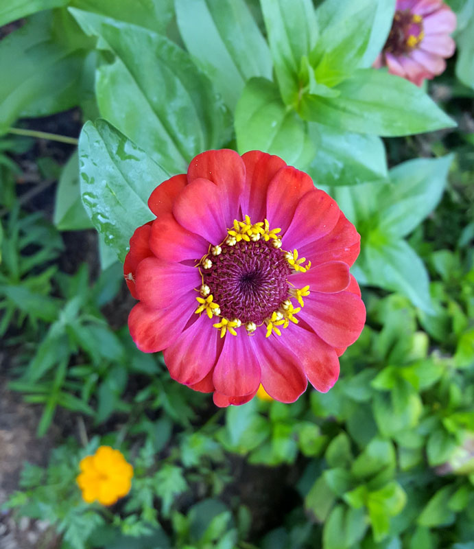 flat-top-zinnia-for-Monarchs