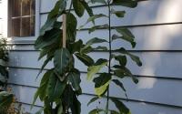 milkweed-type-1