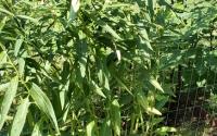 milkweed-type-2a