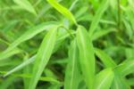 stilt-grass